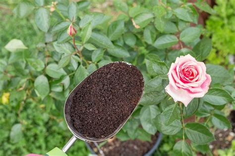 Coffee Grounds In Garden by How To Reuse Coffee Grounds In The Garden Hunker