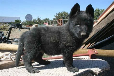 black german shepherd puppies for sale 17 best ideas about german shepherd on blue german shepherd black