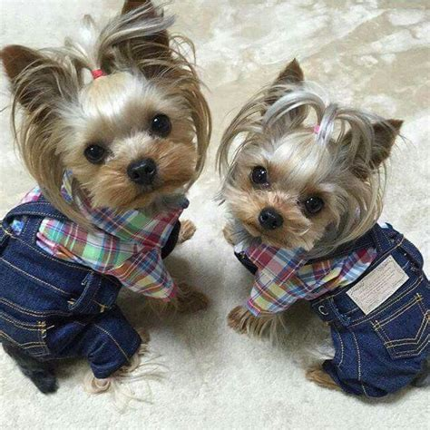 teacup yorkie clothes best 25 teacup yorkie ideas on yorkie teacup puppies yorkie clothes and