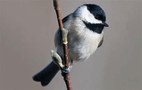 carolina chickadee audubon field guide
