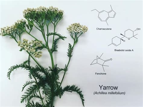 yarrow blue essential aroma 50ml 17 best images about essential chemistry on