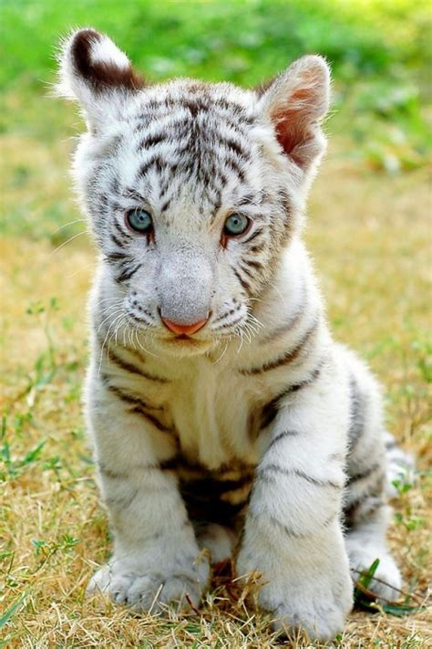 baby white tiger cubs white tiger cub on