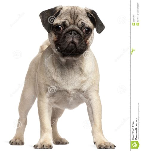 3 month pug puppy 3 month pug puppies pug photos pictures pugs page 6 3 year pug keighley west