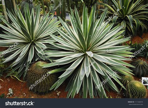 Tropical Yucca Plant by Tropical Yucca Plants Stock Photo 111166574