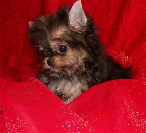 yorkie chihuahua dachshund mix yorkie poo mixed with dachshund chihuahua m5xeu picture breeds picture