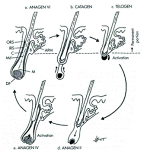 Hair Shedding Cycle by Cycle Of Hair And Its Phases Shedding