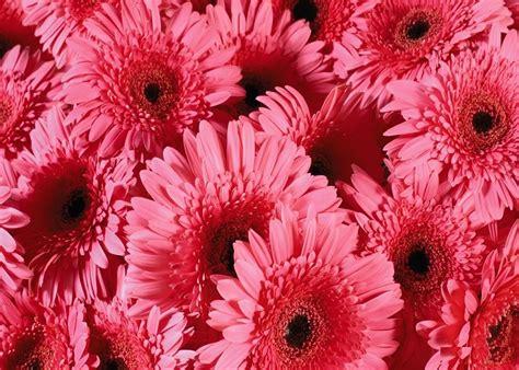 imagenes rosas fondo de pantalla flores vector fondos de pantalla para celulares