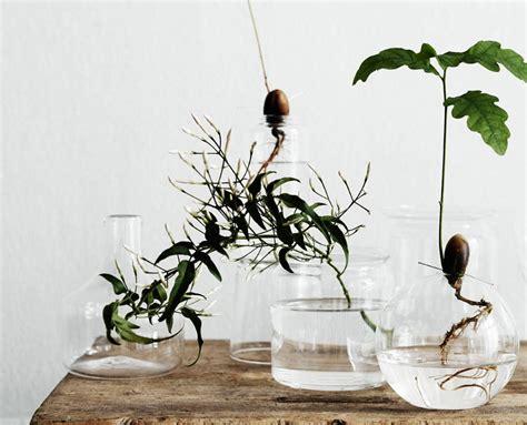 piante in vasi di vetro idrocoltura le piante radicate in vasi di vetro
