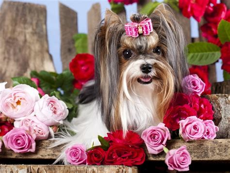 most popular yorkie names 93 most popular terrier names