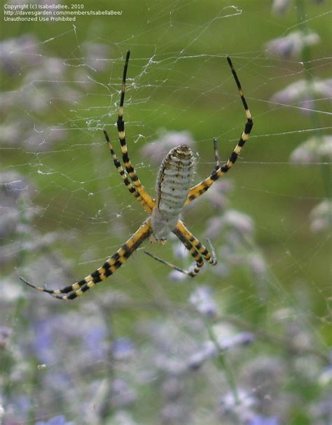 Garden Orb Spider Kentucky Bug Pictures Banded Argiope Banded Garden Spider Banded