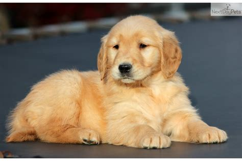 ebay golden retriever golden retriever puppy for sale near lancaster pennsylvania 935df3d1 80d1
