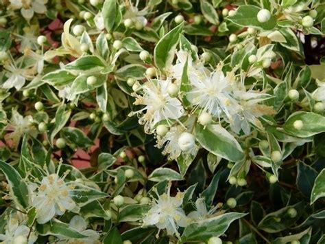 piante mediterranee da vaso sempreverdi da giardino piante da giardino sempreverdi