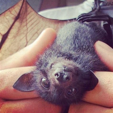 3077 best images about bats on megabat baby bats and caves