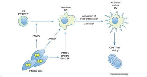 antigen presentation dendritic cell www antigen presentation dendritic cell www pixshark