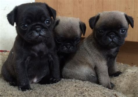 fawn pug puppies for sale gorgeous pug puppies for sale black platinum fawn llanelli carmarthenshire pets4homes