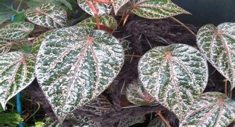 manfaat daun sirih merah  kesehatan nozila