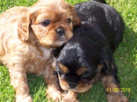 king cavalier puppies cavalier king charles spaniel puppies rhyl denbighshire pets4homes