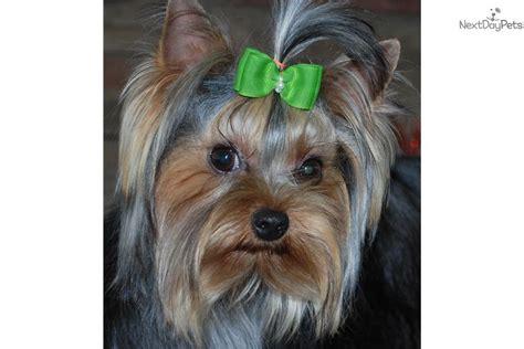 yorkie puppies for sale in winston salem nc porter waggin terrier yorkie puppy for sale near winston salem