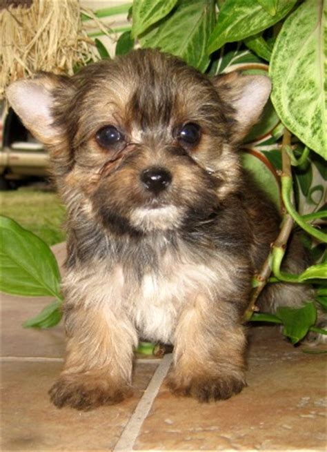 regular size yorkie images of standard size yorkies yorkie breeder baby doll breeds picture