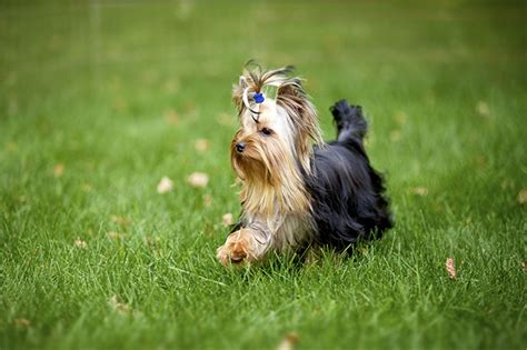 how much do you feed a yorkie puppy american classic cr 420 weight loss how much do 5 foot 2 weight loss