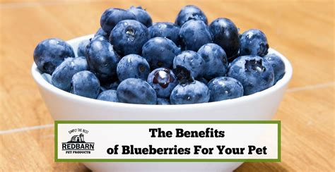 can my eat blueberries can dogs and cats eat blueberries learn the benefits of blueberries