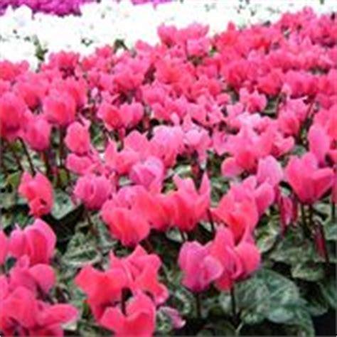 fiore ciclamino ciclamini come curarli piante appartamento ciclamini cura