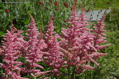 Pictures Of Gardens And Flowers by Astilbe Flowers