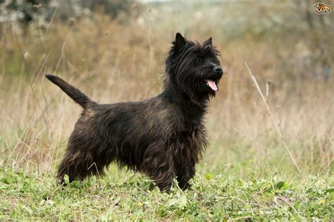 brindle cairn haircut cairn terrier dog breed information buying advice photos