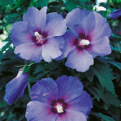 hibiskus zimmerpflanze kaufen hibiskus stamm blau 120 cm kaufen bei gartenliebe