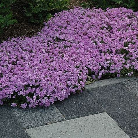moss phlox fort hill gorgeous pink creeping ground cover