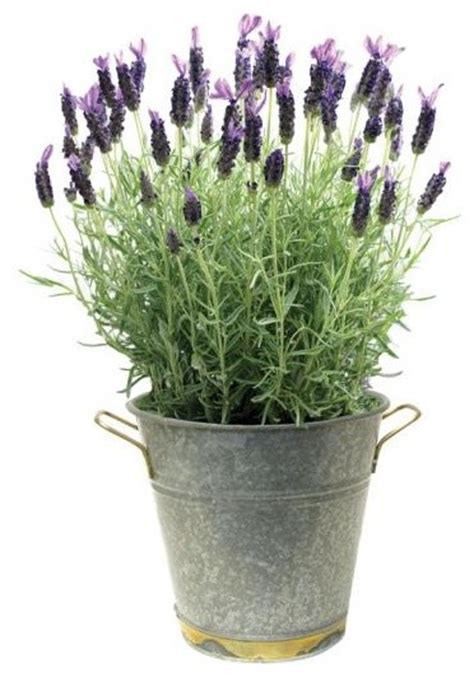 Most Fragrant Lavender Plants - lavender plant traditional plants by home decorators collection