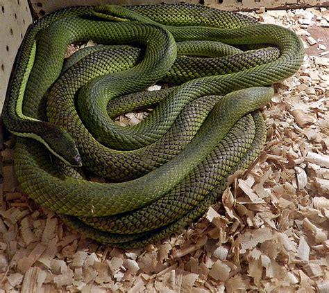 imagenes de serpientes verdes culebra verde sertox