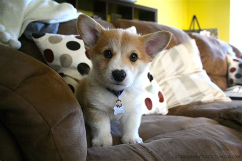 where to buy corgi puppies adorable corgi puppies dogs growing up gatsby the corgi gatsbyadventures