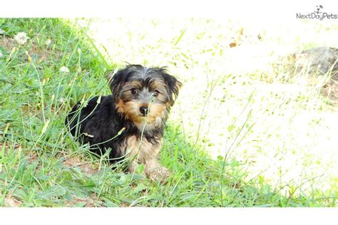 yorkie poos for sale in ga yorkiepoo yorkie poo puppy for sale near atlanta 965f30ed 9f11