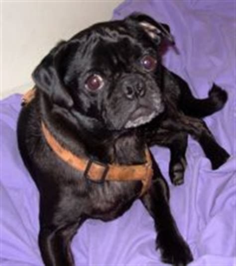 bosley pug adopt mi il in oh ky adoptable dogs on shelters adoptable