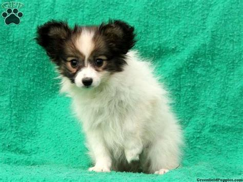 papillon puppies for sale in pa 17 best images about papillon puppies for sale on my ebay babies and houston