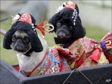 pug in pug costume best 25 pug costume ideas on pugs pugs and pug costumes