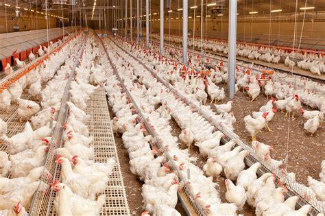 pemeliharaan induk ayam broiler pertumbuhan unggas big dutchman