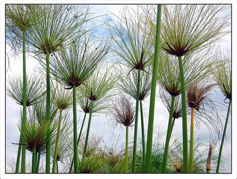 imagenes de flores egipcias mini papiro flores cultura mix