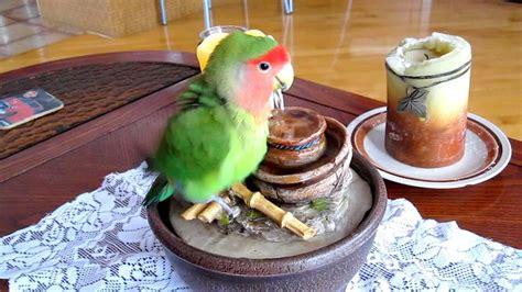 Pakan Walet Racikan 8 terapi lovebird biar gacor dan ngekek panjang dalam 1