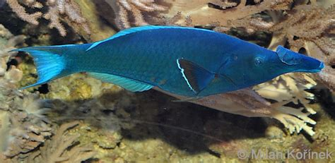 green bird wrasse flickr photo sharing image gomphosus caeruleus blue green bird wrasse