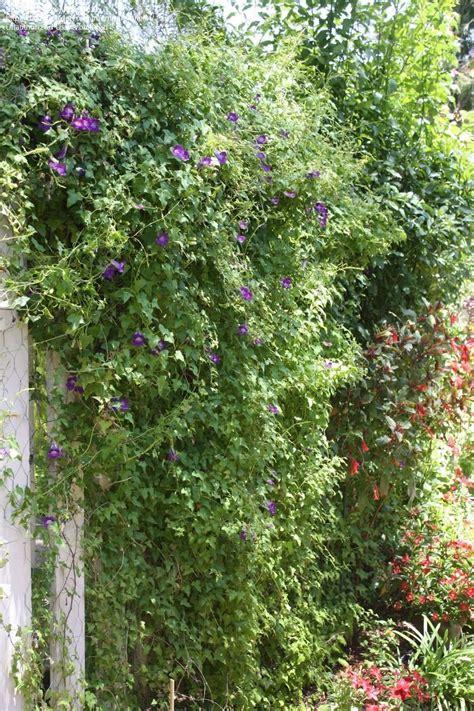 flowering vines  zone   zone vines flowering