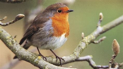 the rspb robin threats