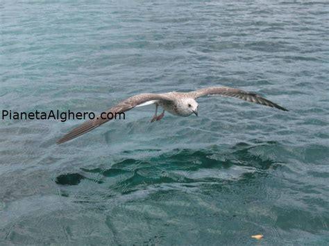 il gabbiano alghero volatili marini di alghero il gabbiano il cormorano