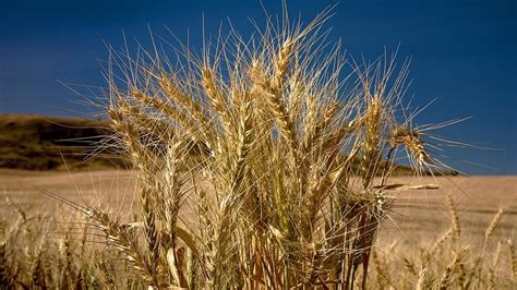 what does a wheat plant look like reference com