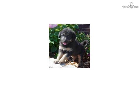 shepherd doodle puppies for sale german shepherd puppy for sale near texoma