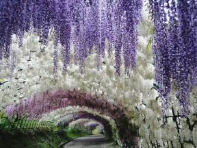 Japan Flower Tunnel by Kawachi Fuji Garden Wisteria Tunnel