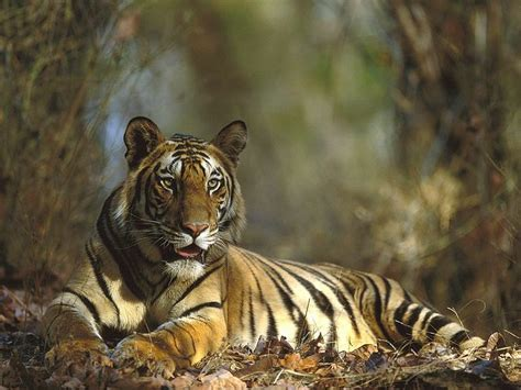 Animal Indian 03 bengal tiger resting bandhavgarh national park india 1600