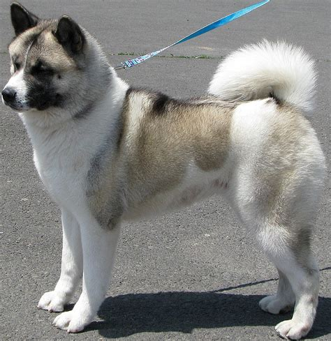 japanese akita if you could any breed of and any colour what would it be and why