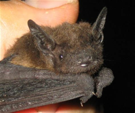 image gallery evening bat